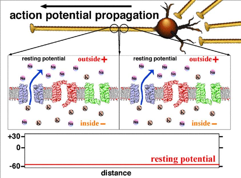 Transmission biological neurons. Action potential